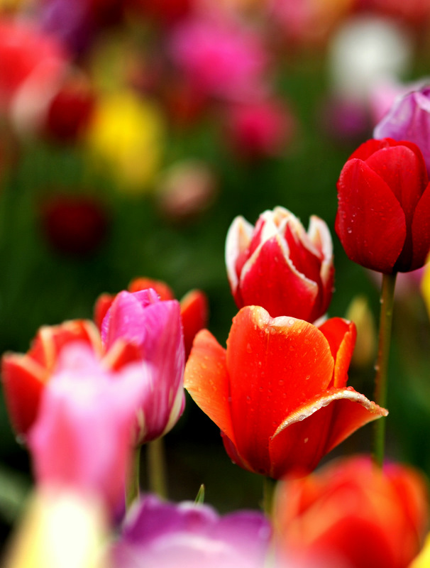 Assorted Tulips, Wooden Shoe Tulip Festival